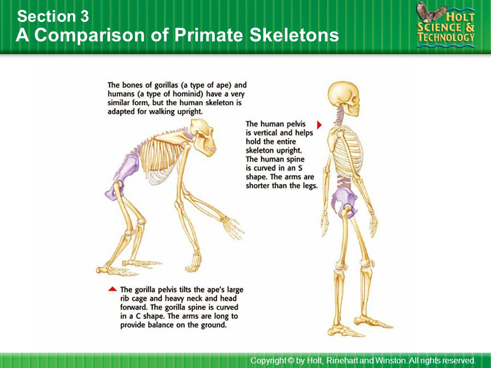 A Comparison of Primate Skeletons