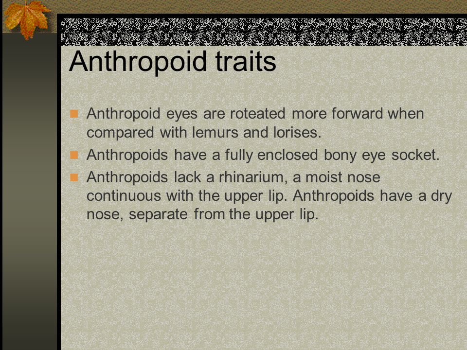 Anthropoid traits Anthropoid eyes are roteated more forward when compared with lemurs and lorises.