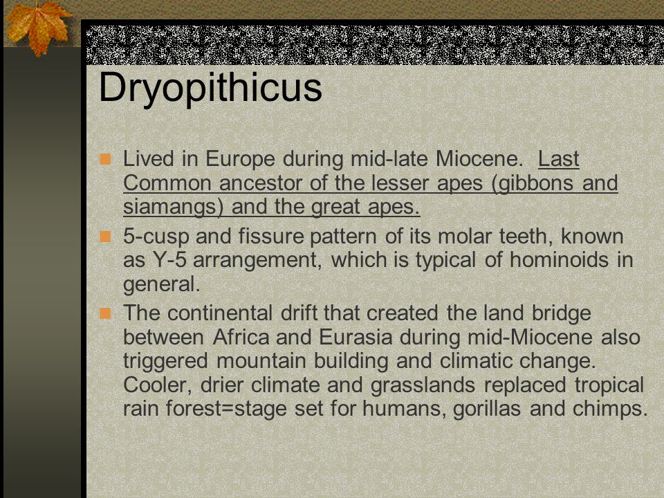 Dryopithicus Lived in Europe during mid-late Miocene. Last Common ancestor of the lesser apes (gibbons and siamangs) and the great apes.