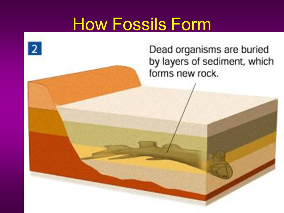 How Fossils Form The fossil record provides evidence about the history of life on Earth.