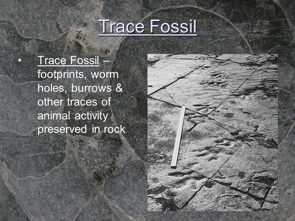 Trace Fossil Trace Fossil – footprints, worm holes, burrows & other traces of animal activity preserved in rock.