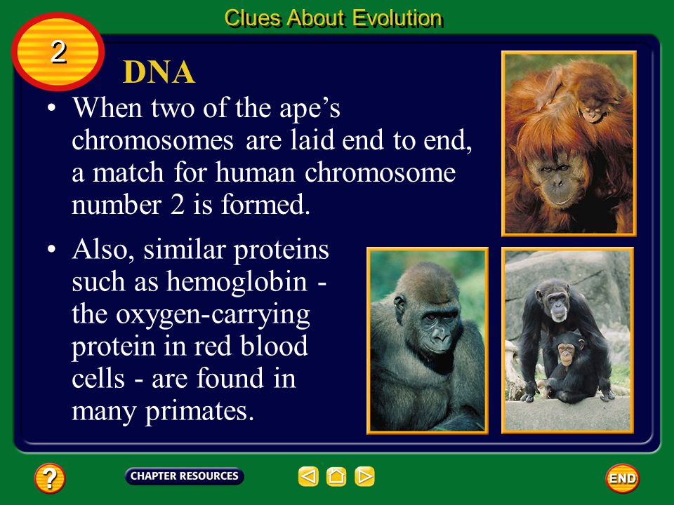 Clues About Evolution 2. DNA. When two of the ape's chromosomes are laid end to end, a match for human chromosome number 2 is formed.