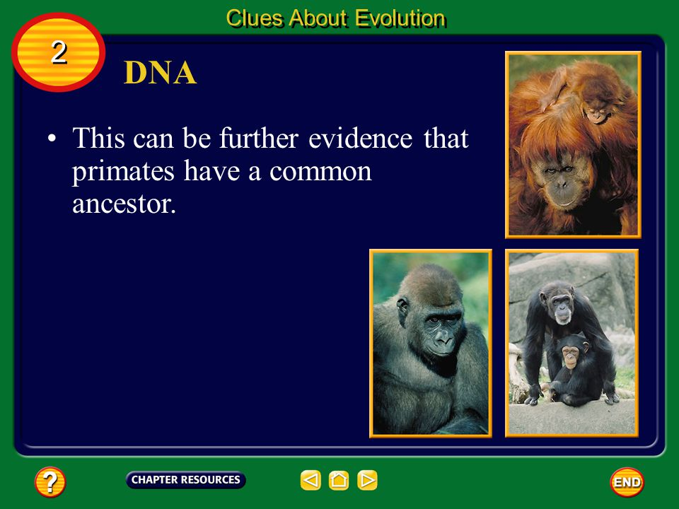 Clues About Evolution 2 DNA This can be further evidence that primates have a common ancestor.