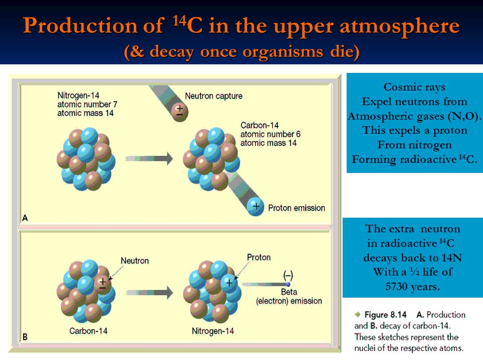 Production of 14C in the upper atmosphere (& decay once organisms die)