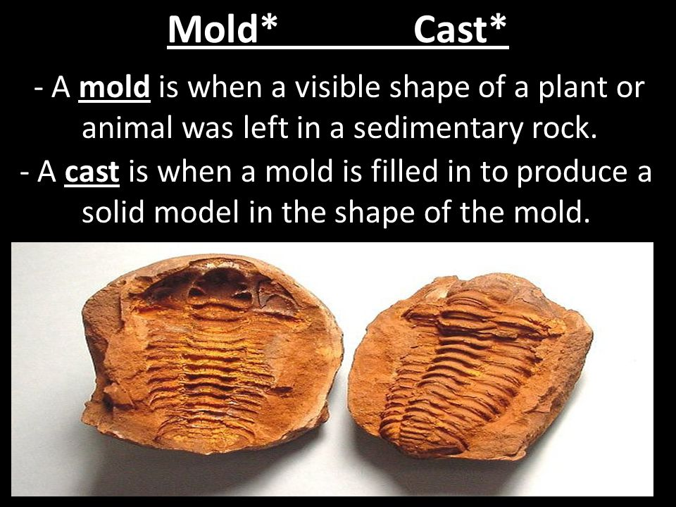Mold* Cast* - A mold is when a visible shape of a plant or animal was left in a sedimentary rock.