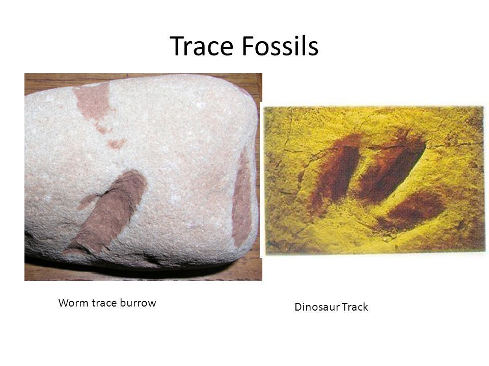 Trace Fossils Worm trace burrow Dinosaur Track