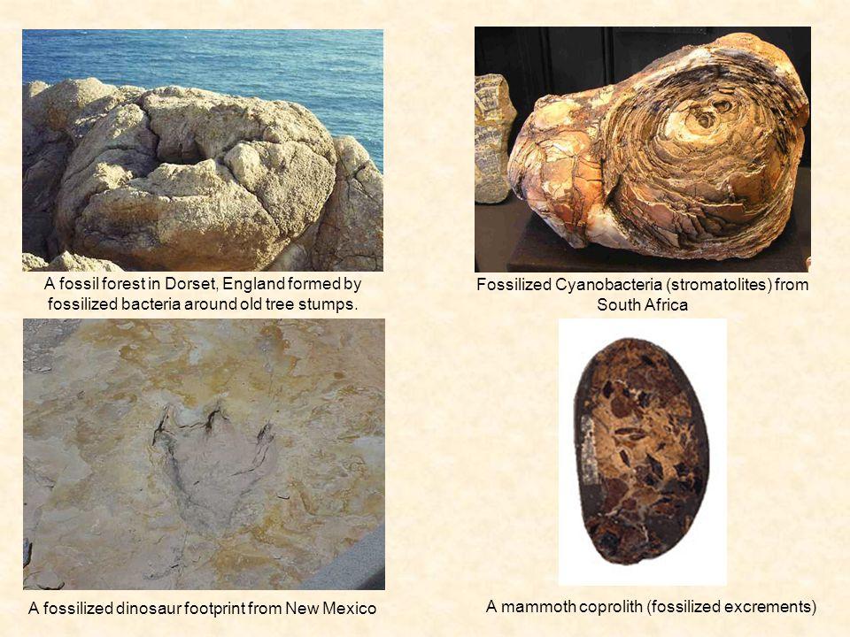 Fossilized Cyanobacteria (stromatolites) from South Africa