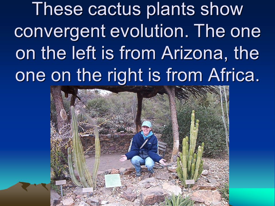 These cactus plants show convergent evolution
