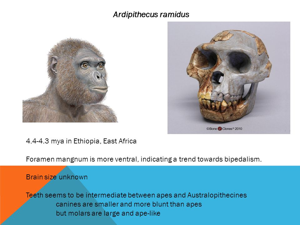 Ardipithecus ramidus 4.4-4.3 mya in Ethiopia, East Africa