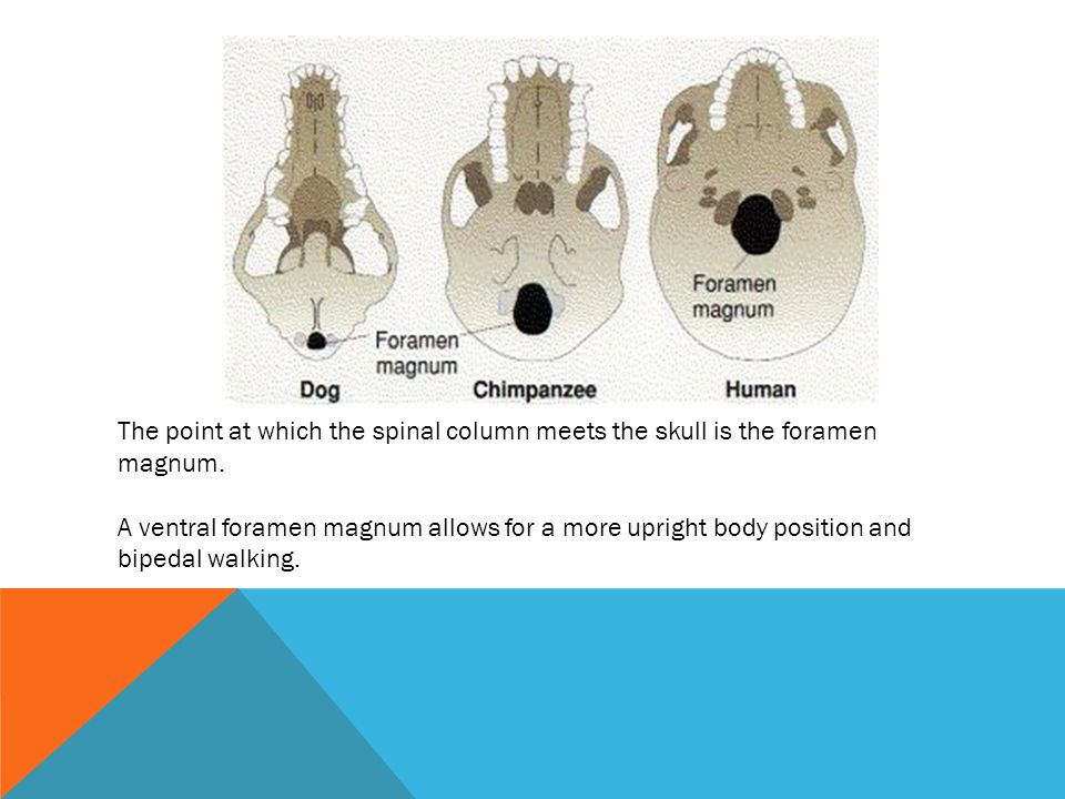 The point at which the spinal column meets the skull is the foramen magnum.