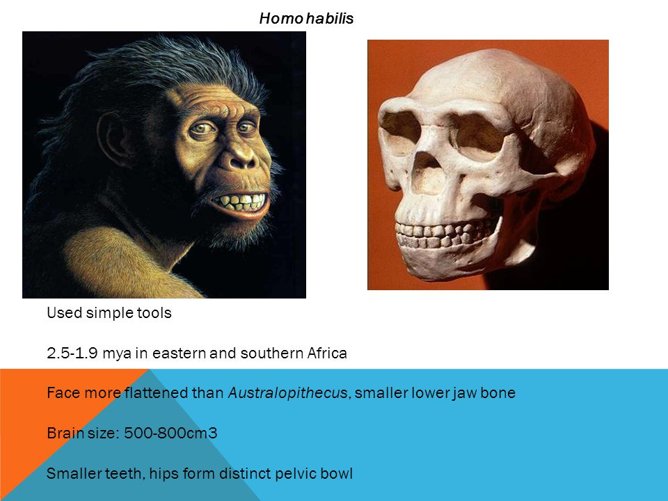 Homo habilis Used simple tools. 2.5-1.9 mya in eastern and southern Africa. Face more flattened than Australopithecus, smaller lower jaw bone.