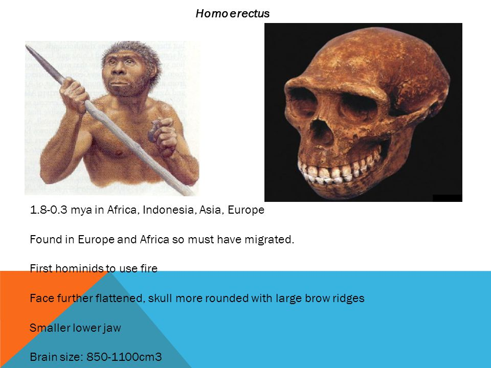 Homo erectus 1.8-0.3 mya in Africa, Indonesia, Asia, Europe. Found in Europe and Africa so must have migrated.