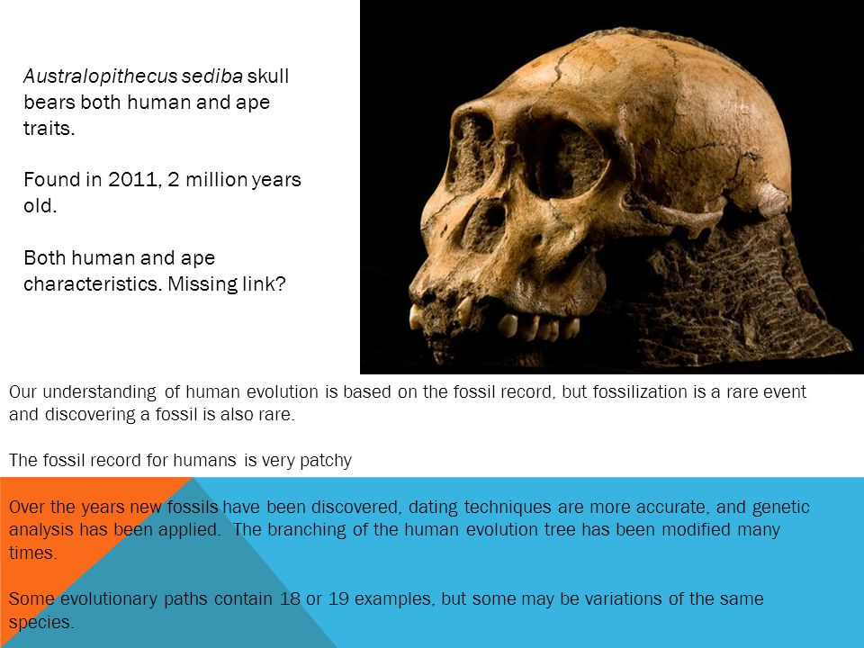 Australopithecus sediba skull bears both human and ape traits.
