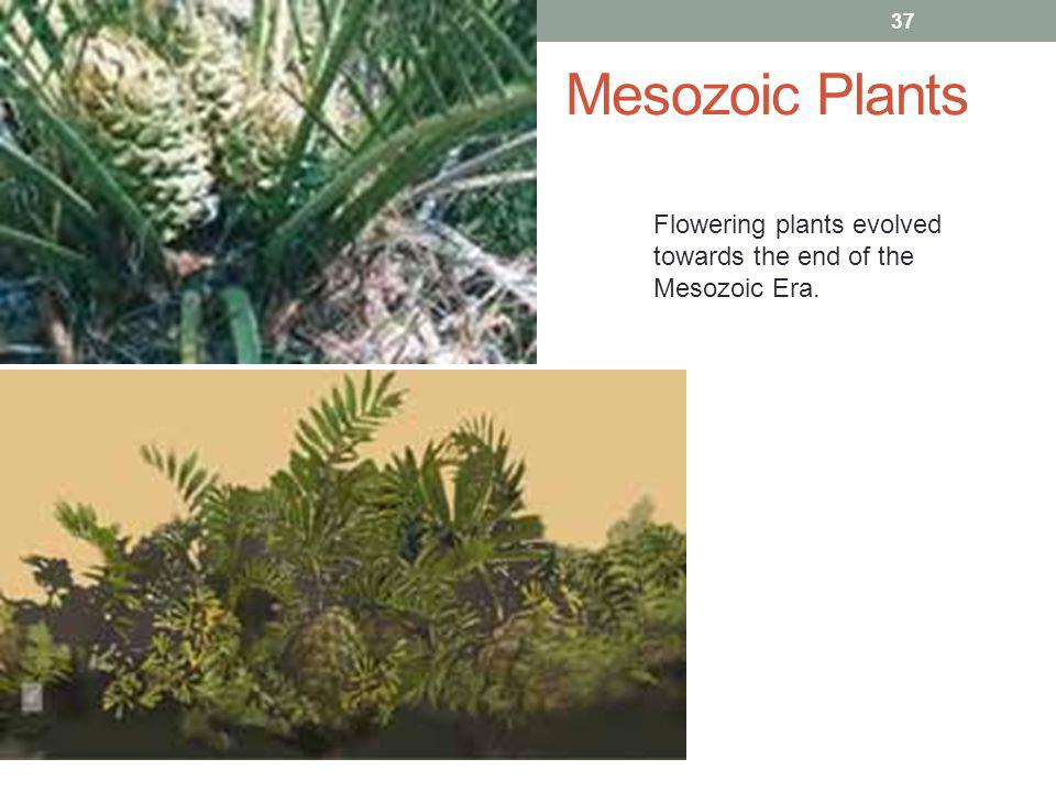 Mesozoic Plants Flowering plants evolved towards the end of the Mesozoic Era.
