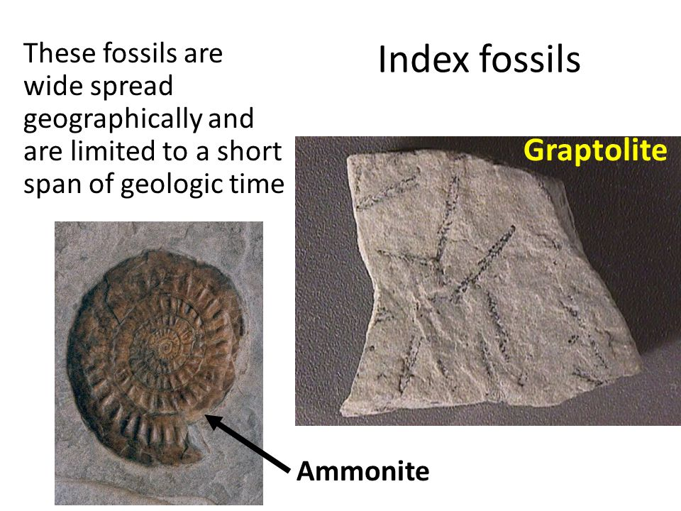 Index fossils Graptolite