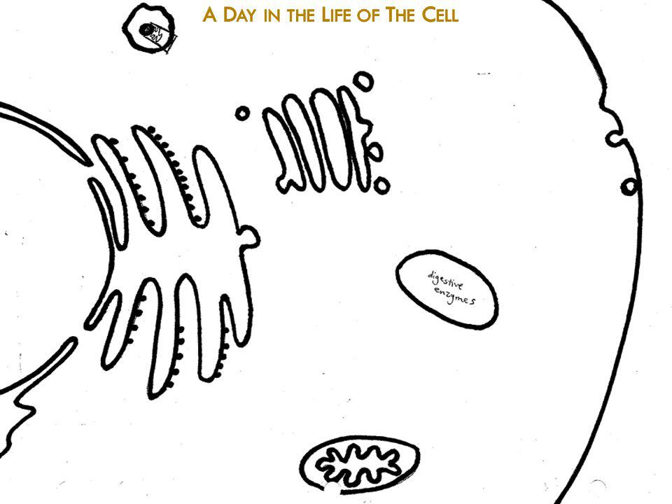 Proteins A Day in the Life of The Cell