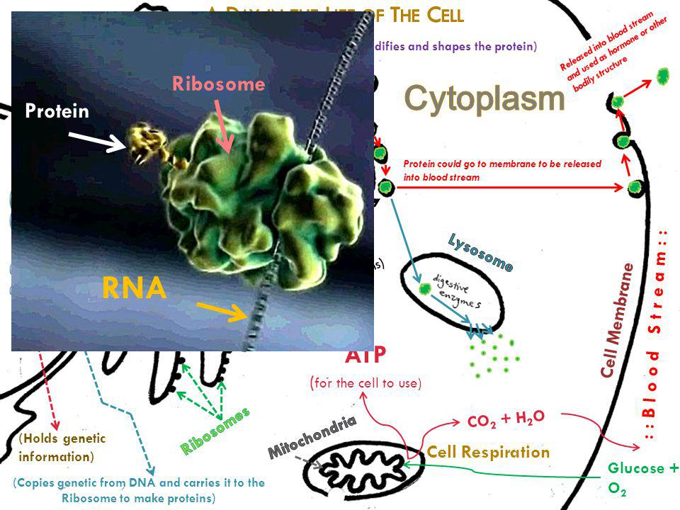 Cytoplasm RNA Nucleus E.R. ATP A Day in the Life of The Cell Ribosome