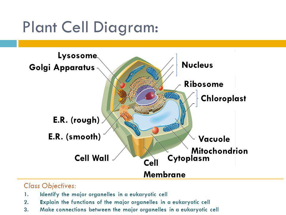 Plant Cell Diagram: Lysosome Nucleus Golgi Apparatus Ribosome
