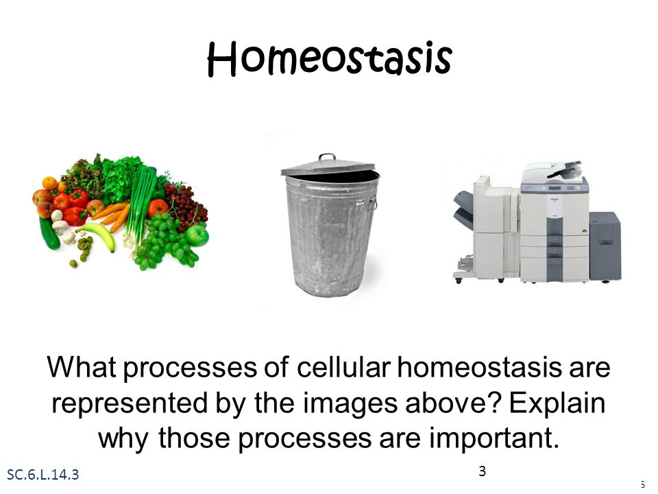 Homeostasis What processes of cellular homeostasis are represented by the images above Explain why those processes are important.