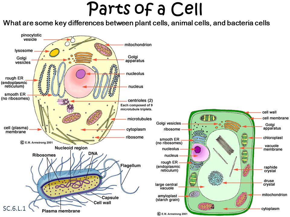 Parts of a Cell What are some key differences between plant cells, animal cells, and bacteria cells