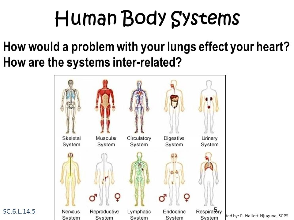 Human Body Systems How would a problem with your lungs effect your heart How are the systems inter-related