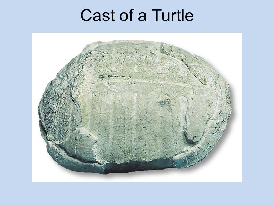 Cast of a Turtle