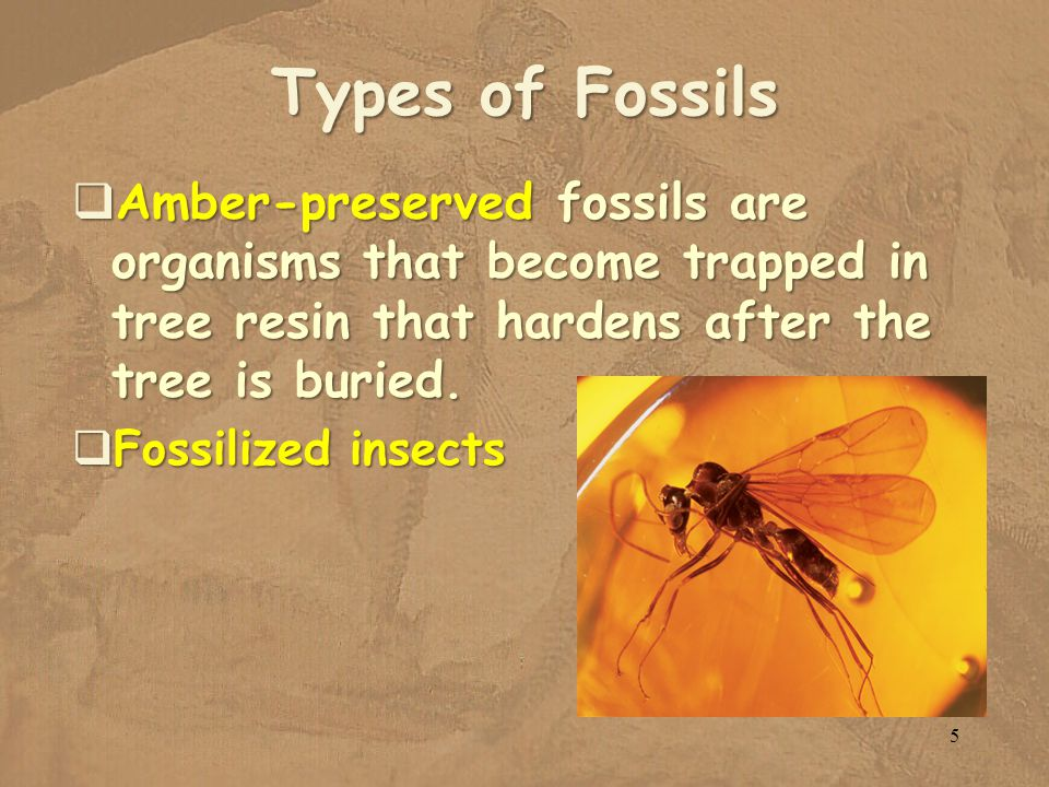 Types of Fossils Amber-preserved fossils are organisms that become trapped in tree resin that hardens after the tree is buried.