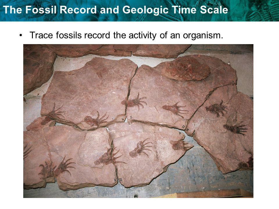 Trace fossils record the activity of an organism.