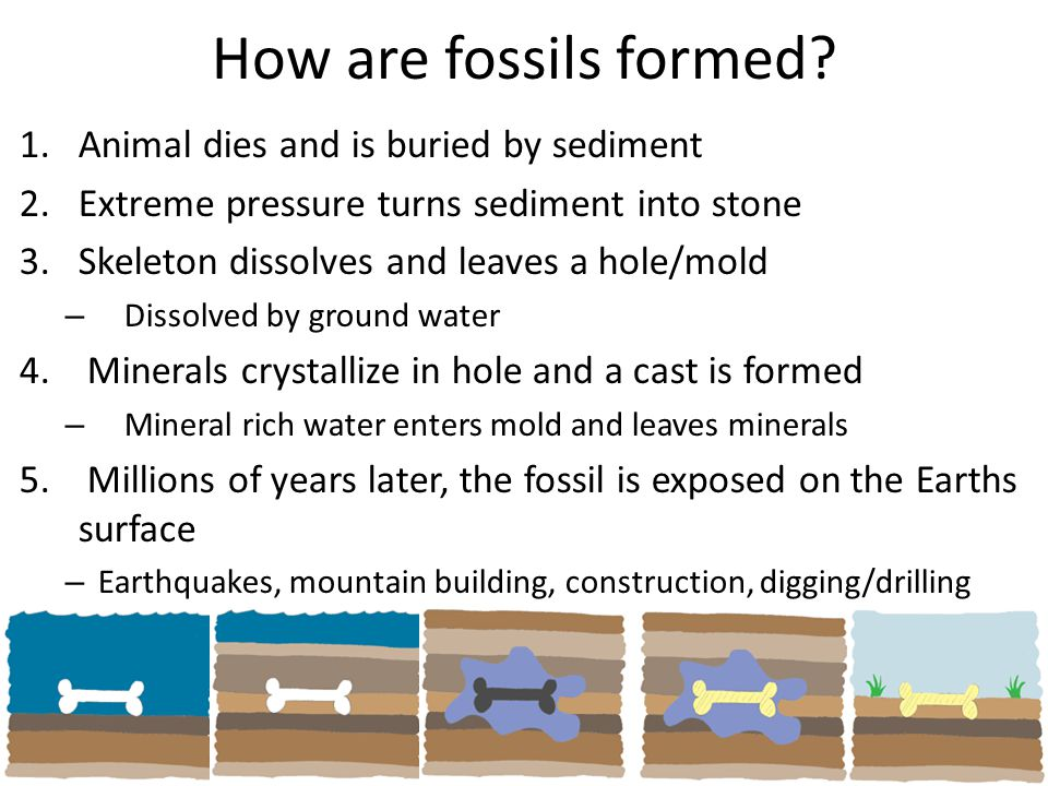 How are fossils formed Animal dies and is buried by sediment