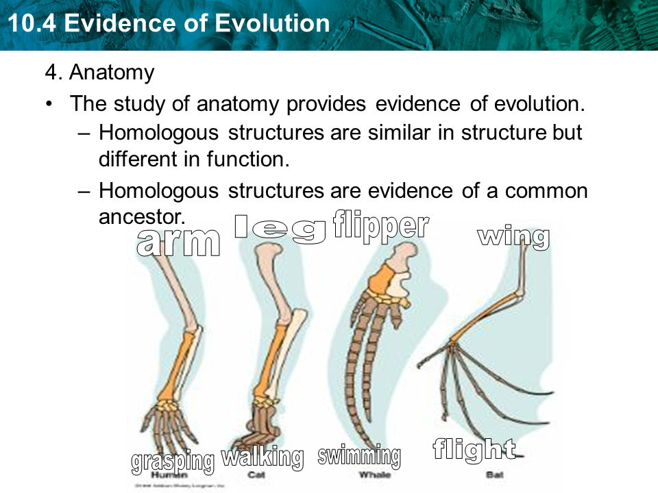 The evolutionary anatomy Essay Help ivhomeworkwusb.teleteria.us
