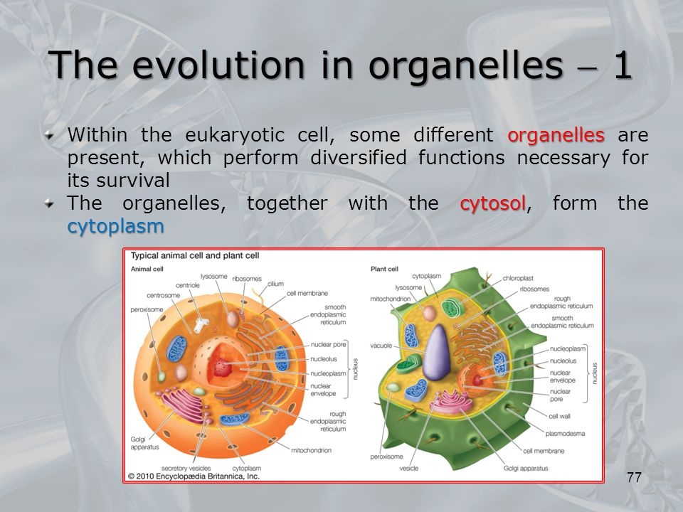 The evolution in organelles  1