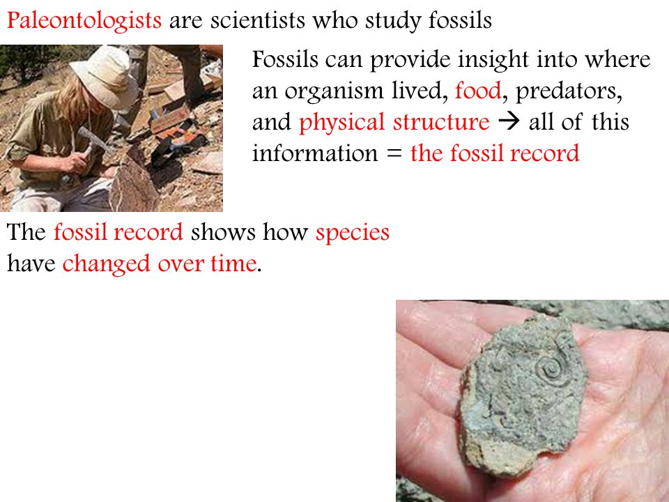 Paleontologists are scientists who study fossils