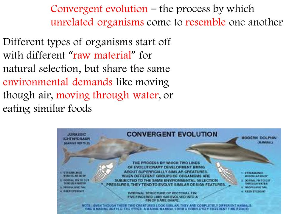 Convergent evolution – the process by which unrelated organisms come to resemble one another
