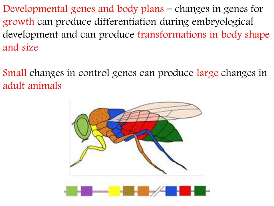 Developmental genes and body plans – changes in genes for growth can produce differentiation during embryological development and can produce transformations in body shape and size