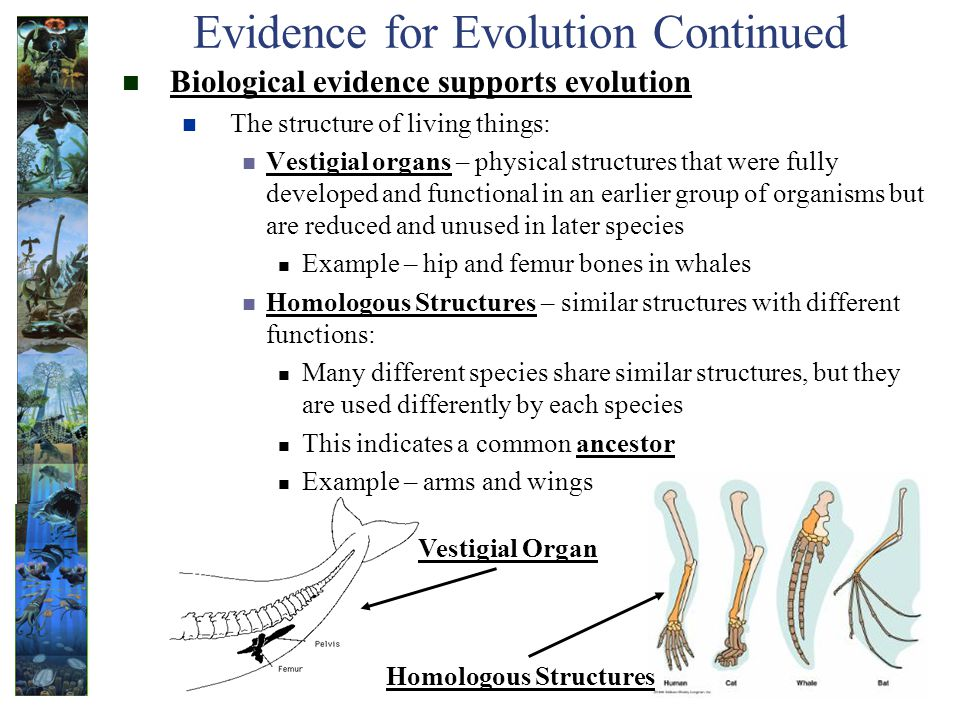 Evidence for Evolution Continued