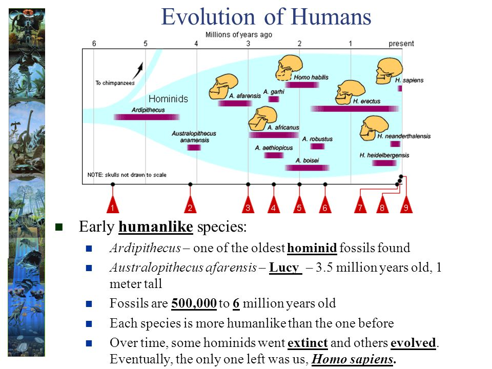 Evolution of Humans Early humanlike species: