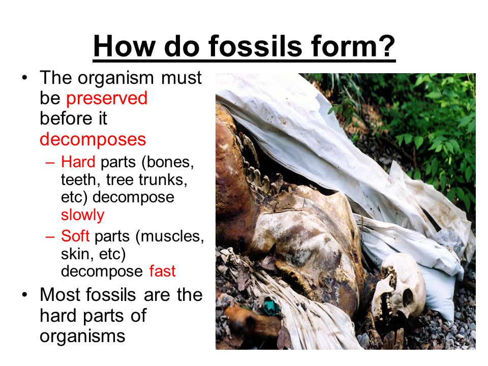 How do fossils form The organism must be preserved before it decomposes. Hard parts (bones, teeth, tree trunks, etc) decompose slowly.