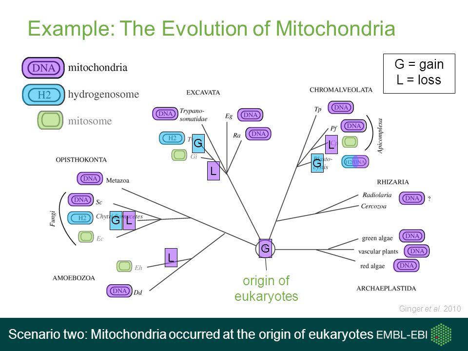 Example: The Evolution of Mitochondria