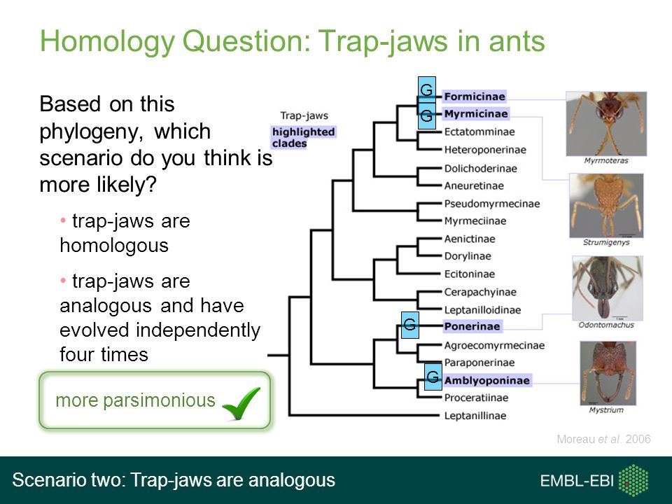 Homology Question: Trap-jaws in ants