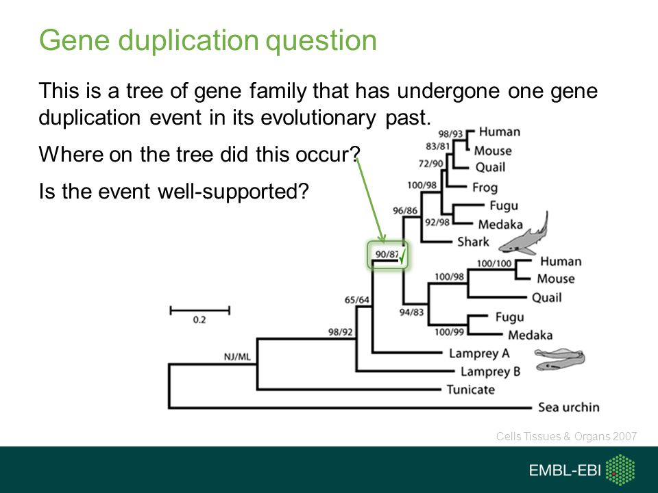 Gene duplication question