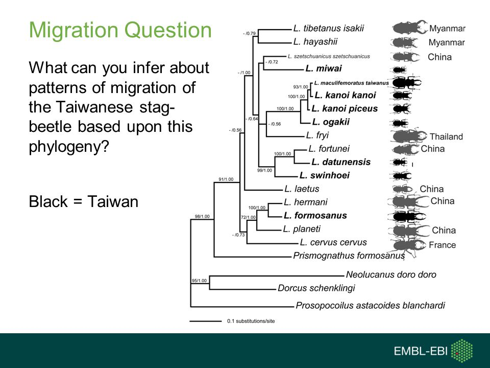 Migration Question What can you infer about patterns of migration of the Taiwanese stag- beetle based upon this phylogeny Black = Taiwan
