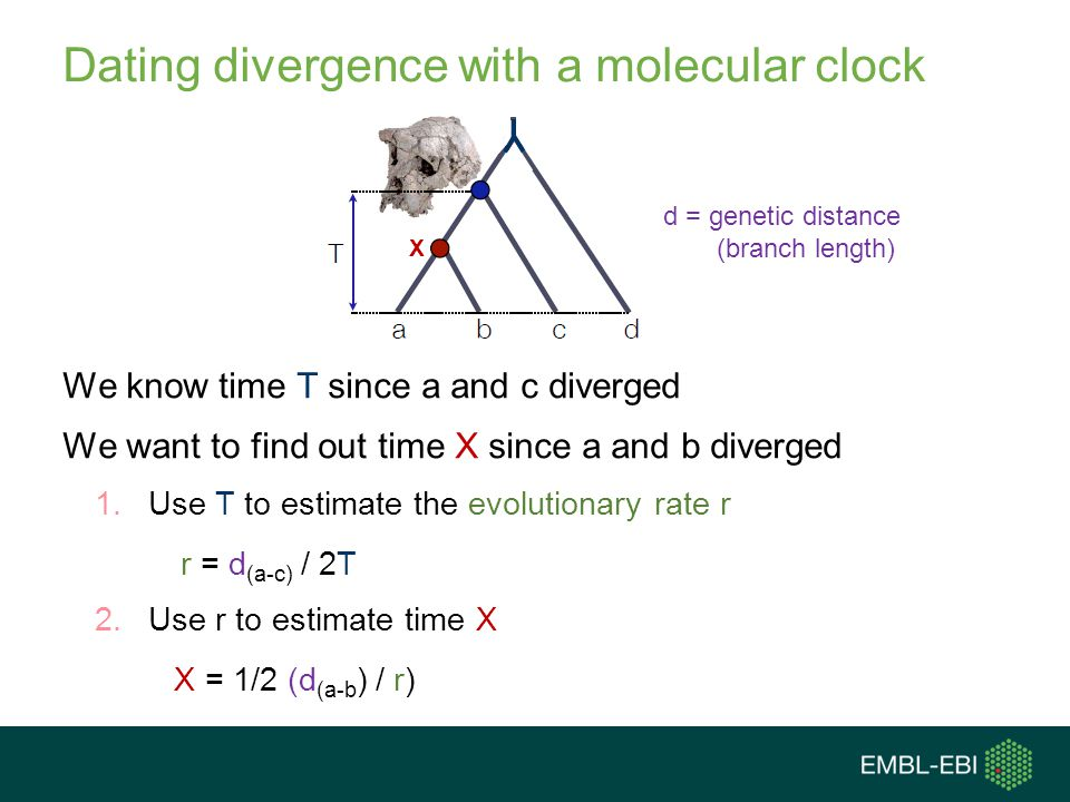 Dating divergence with a molecular clock