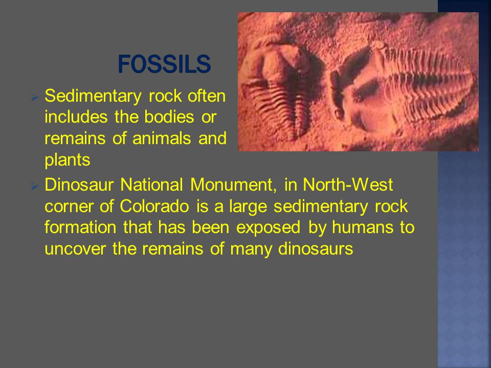 Fossils Sedimentary rock often includes the bodies or remains of animals and plants.