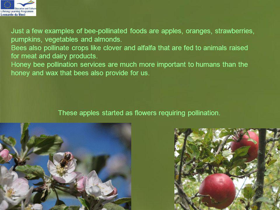 Just a few examples of bee-pollinated foods are apples, oranges, strawberries, pumpkins, vegetables and almonds.