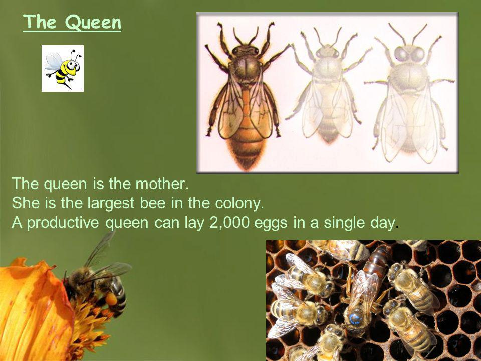 The Queen The queen is the mother.