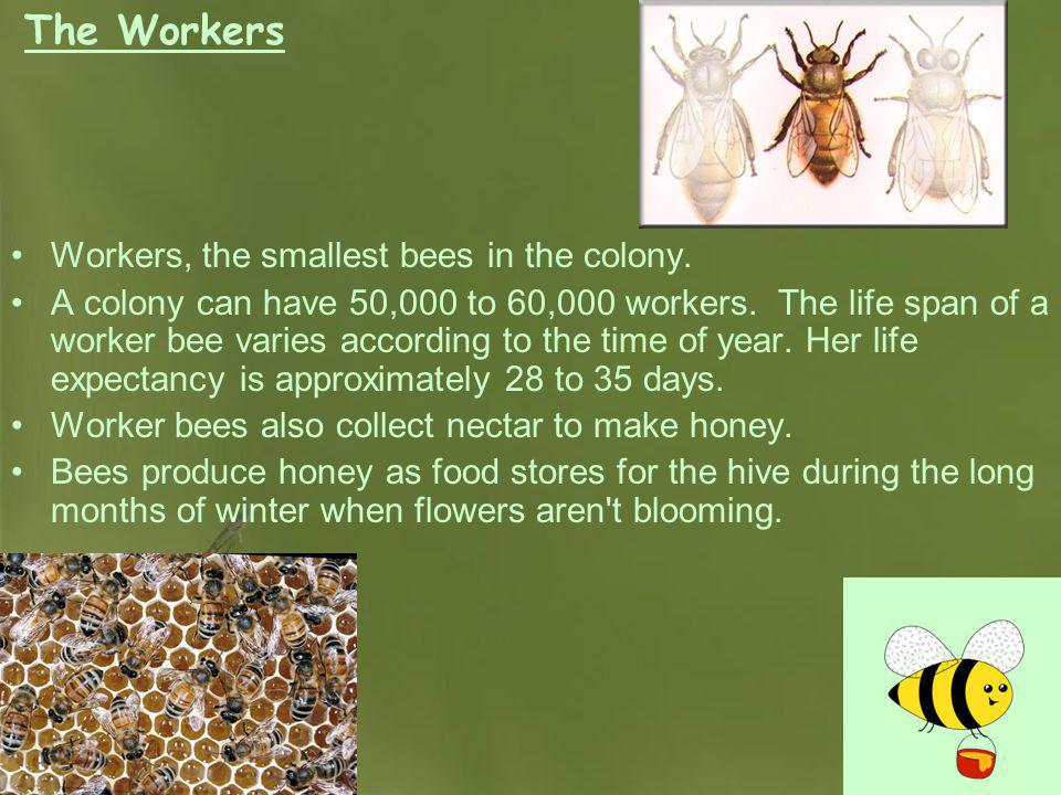 The Workers Workers, the smallest bees in the colony.