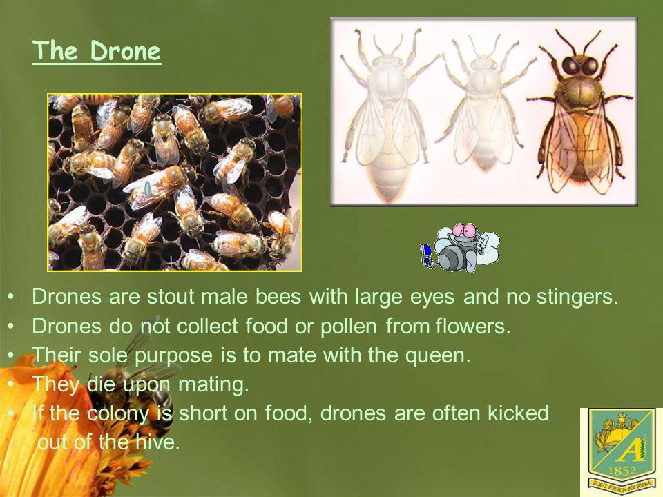 The Drone Drones are stout male bees with large eyes and no stingers.