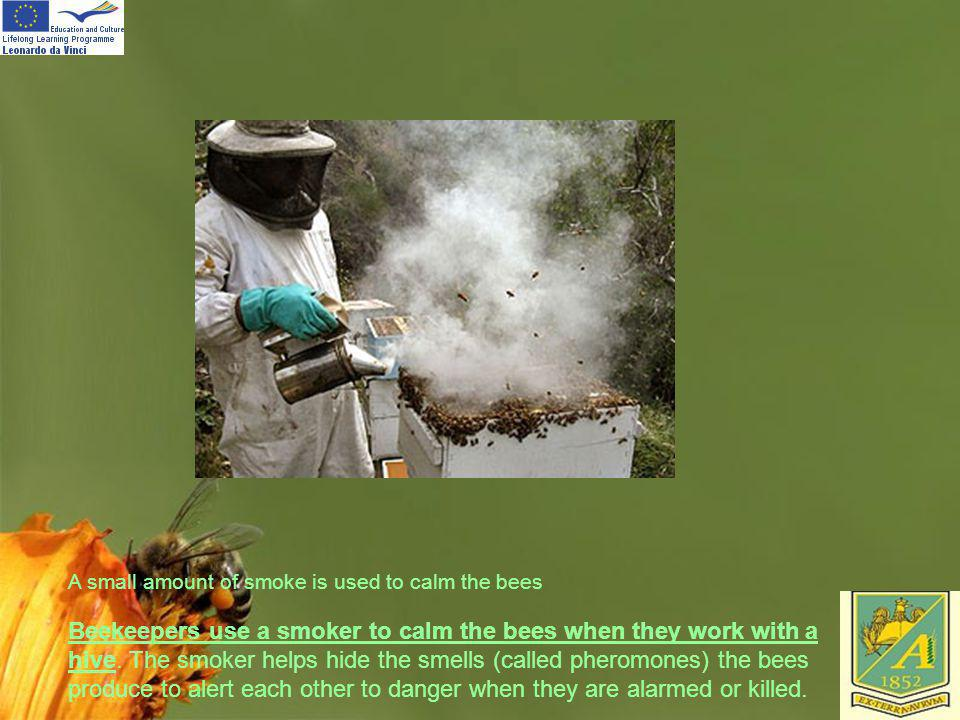A small amount of smoke is used to calm the bees