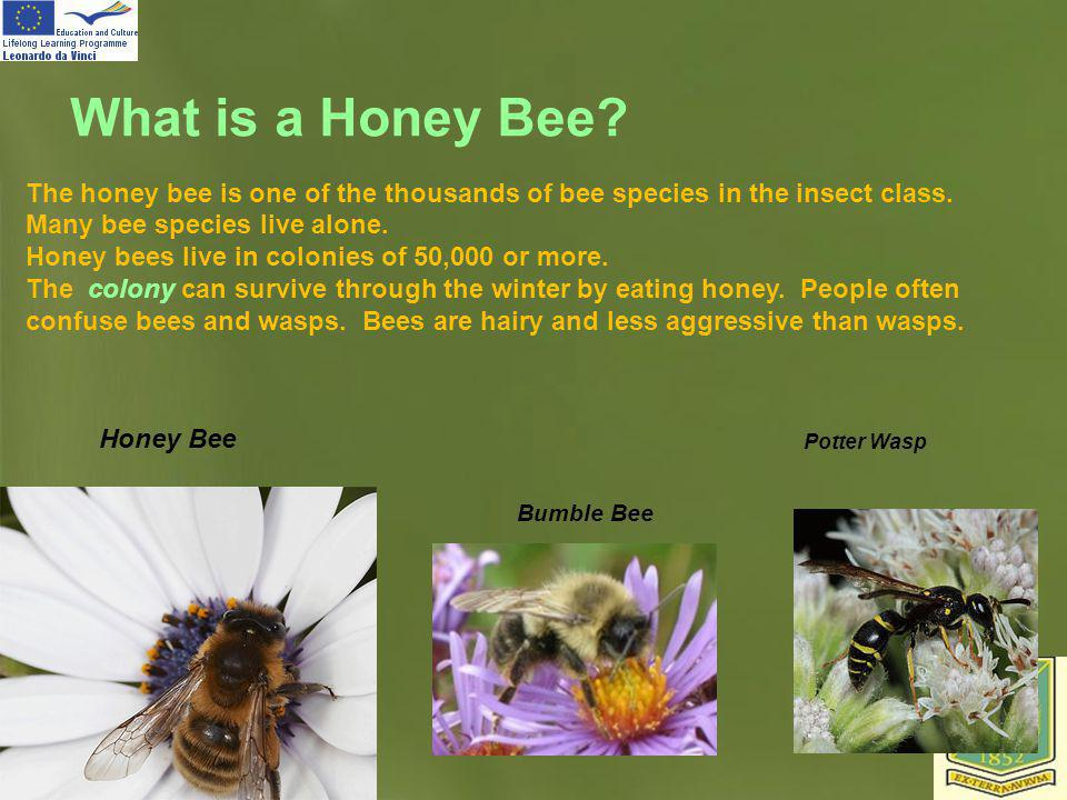 What is a Honey Bee The honey bee is one of the thousands of bee species in the insect class. Many bee species live alone.