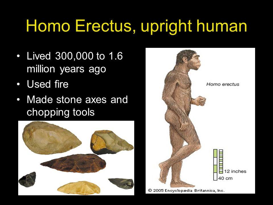 Homo Erectus, upright human